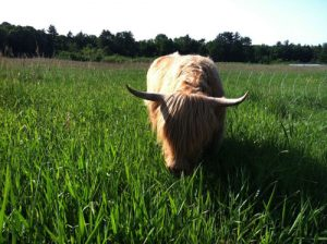 Scottish Highland Cow grazes in a field.