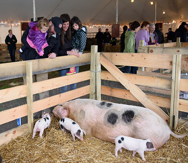 Pet piglets and other farm animals at Strawberry Banke's Baby Animals: Heritage Breeds at the Banke event.